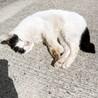 【急募】人馴れした白黒の成猫 サムネイル3