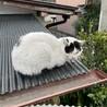 【急募】人馴れした白黒の成猫 サムネイル4