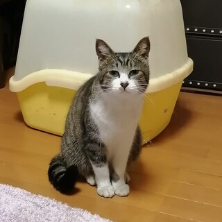 アンニュイなお顔のサバトラ梅子ちゃん♀