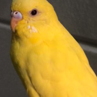 セキセイインコ ルチノー 荒鳥