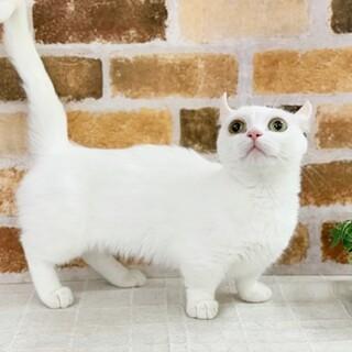美猫です。マンチカン×アメリカンカール女の子3才