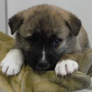 里親様決定。子犬♀261