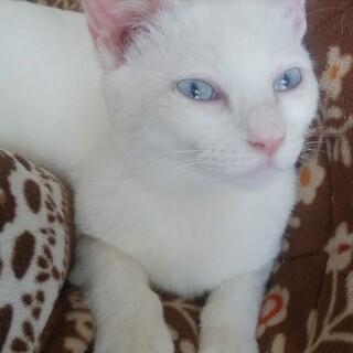 甘えん坊ブルーアイズ白猫アーチー♂