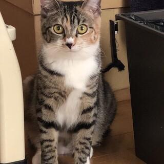 シマ三毛の美猫女子 8ヶ月
