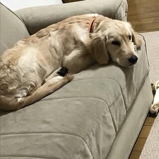1歳ゴールデンレトリーバー雌 室内犬飼育経験者希望