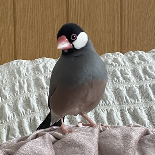 1歳10ヶ月の文鳥のオス