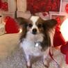 パピヨン6歳★ルナちゃん 繁殖引退犬 サムネイル3