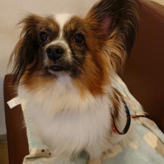 パピヨン6歳★ミミちゃん 繁殖引退犬