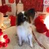 パピヨン6歳★ミミちゃん 繁殖引退犬 サムネイル2