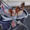 パピヨン6歳★ミミちゃん 繁殖引退犬 サムネイル4