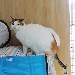美人な三毛猫さん!人慣れしていません。