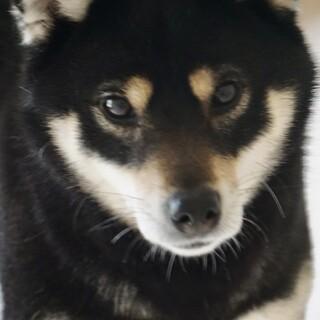 柴犬コハルの家族を募集します。