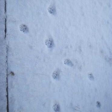 玄関前の新雪に足跡をのこしたのはキタキツネ?