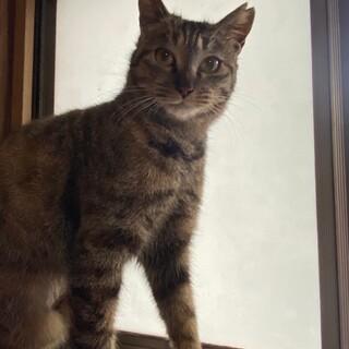 美猫キジトラさん♡ランちゃん