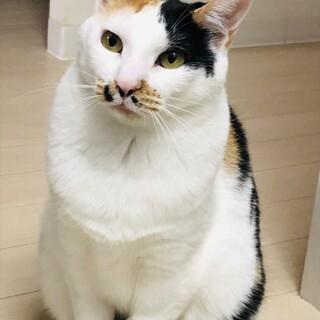 表情豊かで美人な三毛猫ちゃんです!