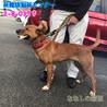 茶白の中型わんこ 猟犬の女の子 037 サムネイル2