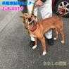 茶白の中型わんこ 猟犬の女の子 037 サムネイル4