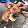 茶白の中型わんこ 猟犬の女の子 037 サムネイル5