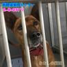 茶白の中型わんこ 猟犬の女の子 037 サムネイル6