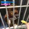 茶白の中型わんこ 猟犬の女の子 037 サムネイル7