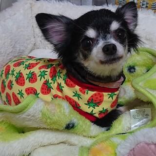 チワワ 7~8歳★いくらちゃん 繁殖引退犬