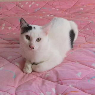 去勢手術済きれいな白いオス子猫