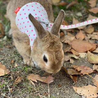 ミニウサギ ♀撫でられるのが好き