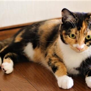 三毛猫【おからちゃん】♀ 7ヶ月