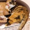 三毛猫【おからちゃん】♀ 8ヶ月 サムネイル4