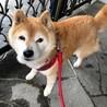 優しい柴犬のマコちゃんに幸せを! サムネイル3