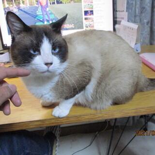 珍しい猫種、スノーシュー(MIX?)
