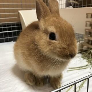 クリーム色のミニウサギ(生後6ヶ月)