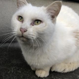 【急募❗️】三重県伊勢市オスの白猫【人懐っこい】