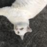 【急募❗️】三重県伊勢市オスの白猫【人懐っこい】 サムネイル2