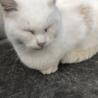 【急募❗️】三重県伊勢市オスの白猫【人懐っこい】 サムネイル4
