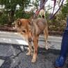 【助けてください】四国犬風のおじいちゃんワンコ サムネイル3