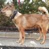 【助けてください】四国犬風のおじいちゃんワンコ サムネイル6