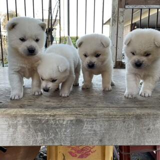 紀州犬 ショータイプの美犬