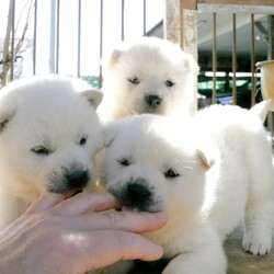 「純血種の子犬の募集」サムネイル1