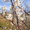 春の訪れ。梅の花