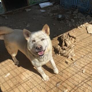大きい白犬 バニラ