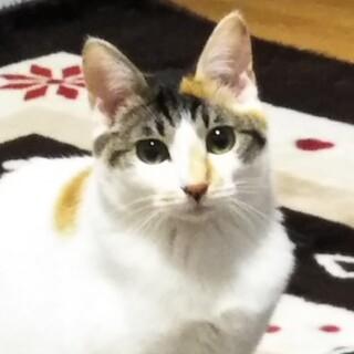 2/28水道橋★もみじ★ゆっくり人慣れ美猫ちゃん