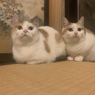 避妊手術済みの三毛猫姉妹