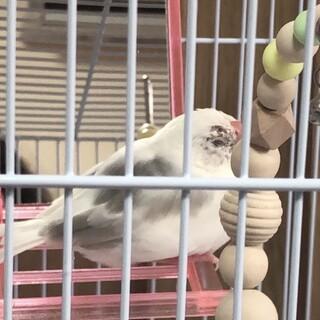 白文鳥中雛2羽(生後2ヶ月)