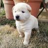 野良犬の赤ちゃん生後一ヶ月メス