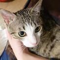 【いずる】抱っこ大好きスリゴロくん(猫白血病陽性)