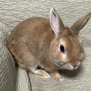 ウサギ、ネザーランドドワーフの里親募集。