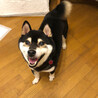 THE柴犬!なくま君 推定5〜6歳 サムネイル4