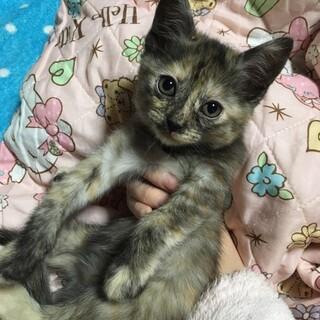サビ猫ちゃん♀ 生後2ヶ月