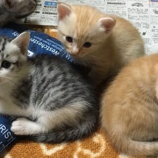サバ白グレー♀&オレンジ茶トラ♂ 兄弟